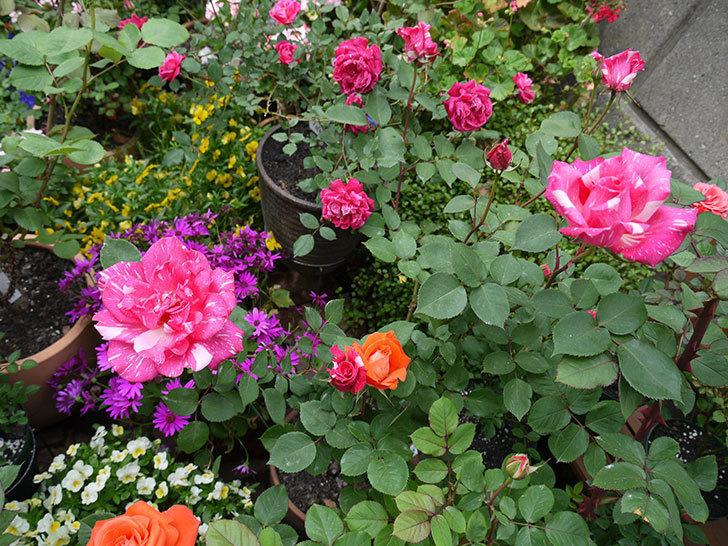 ローラとモダン・タイムズの花が増えてきた。2017年-11.jpg