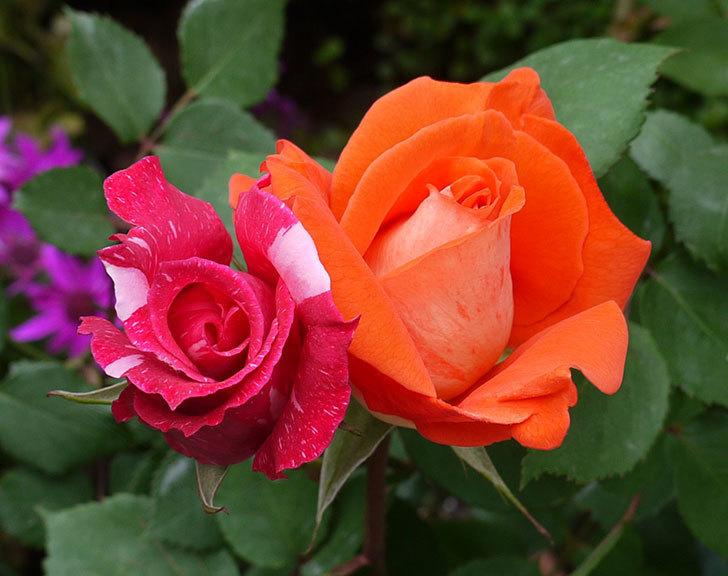 ローラとモダン・タイムズの花が増えてきた。2017年-2.jpg