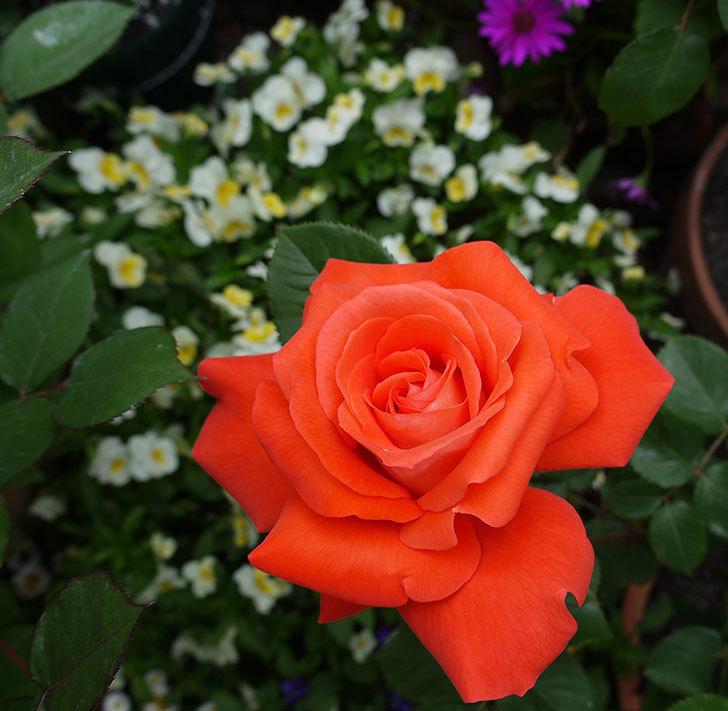 ローラとモダン・タイムズの花が増えてきた。2017年-3.jpg