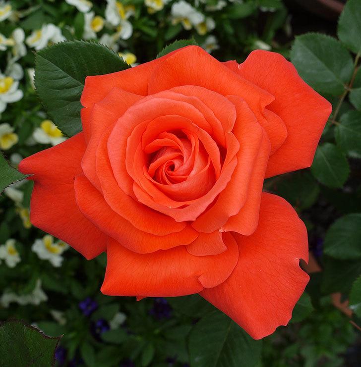 ローラとモダン・タイムズの花が増えてきた。2017年-4.jpg