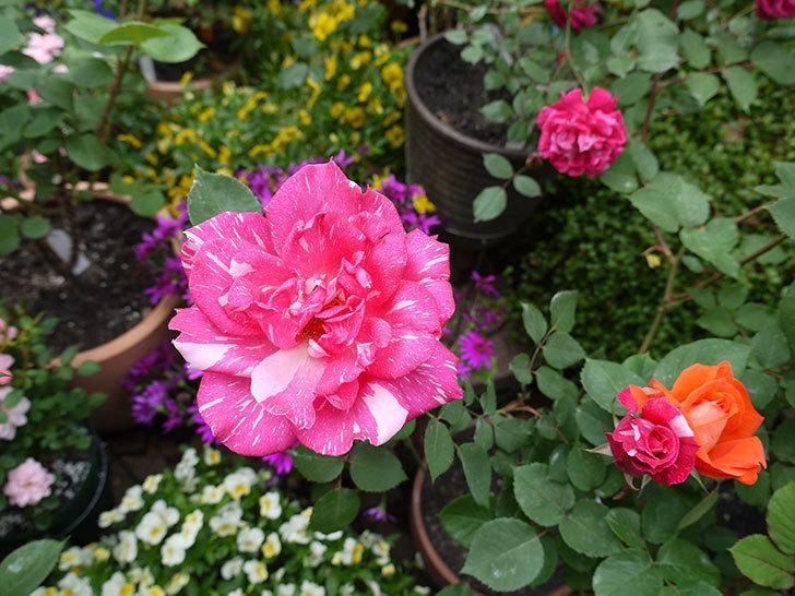 ローラとモダン・タイムズの花が増えてきた。2017年-5.jpg