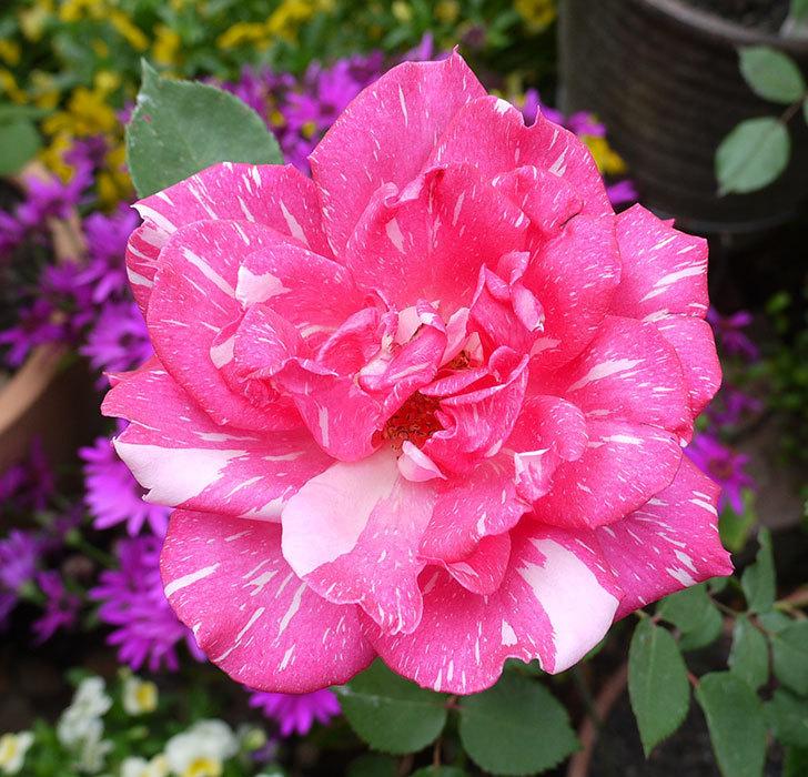 ローラとモダン・タイムズの花が増えてきた。2017年-6.jpg