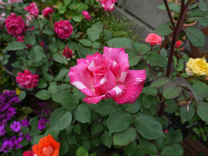 ローラとモダン・タイムズの花が増えてきた。2017年-7.jpg