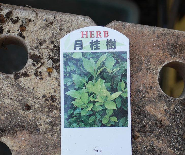 ローリエ(月桂樹)がケイヨーデイツーで480円だったので買って来た。2019年-2.jpg