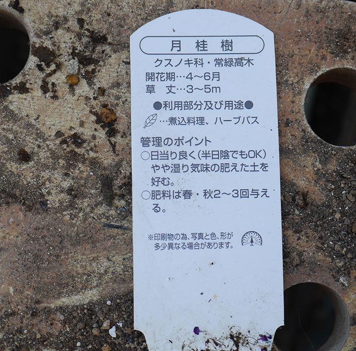 ローリエ(月桂樹)がケイヨーデイツーで480円だったので買って来た。2019年-3.jpg