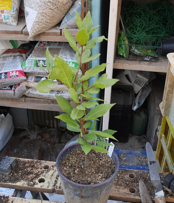 ローリエ(月桂樹)がケイヨーデイツーで480円だったので買って来た。2019年-4.jpg