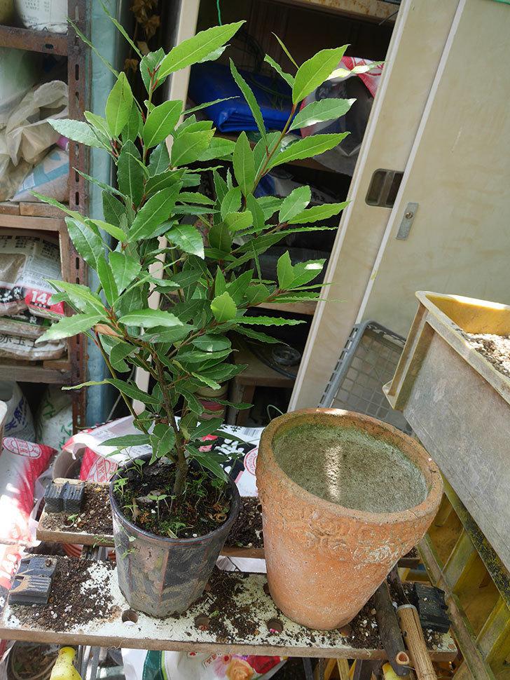 ローリエ(月桂樹)の植え替えをした。2020年-001.jpg