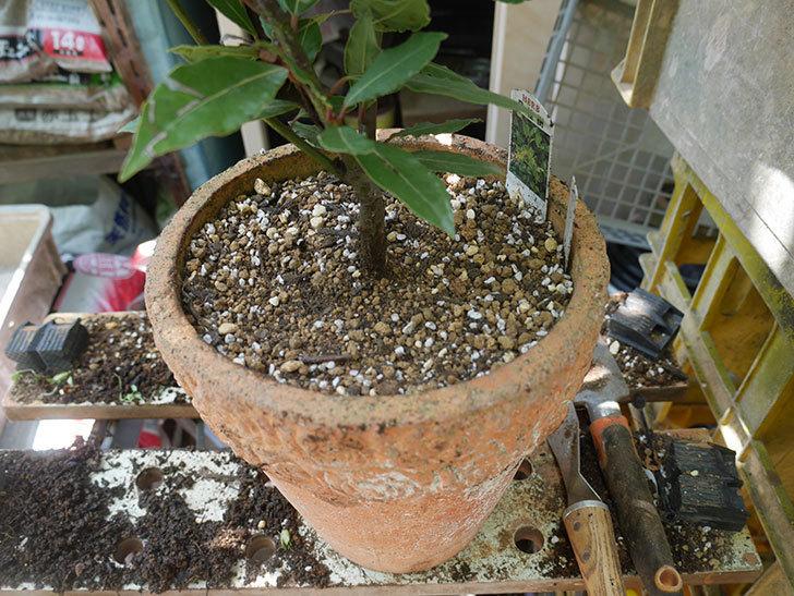 ローリエ(月桂樹)の植え替えをした。2020年-004.jpg