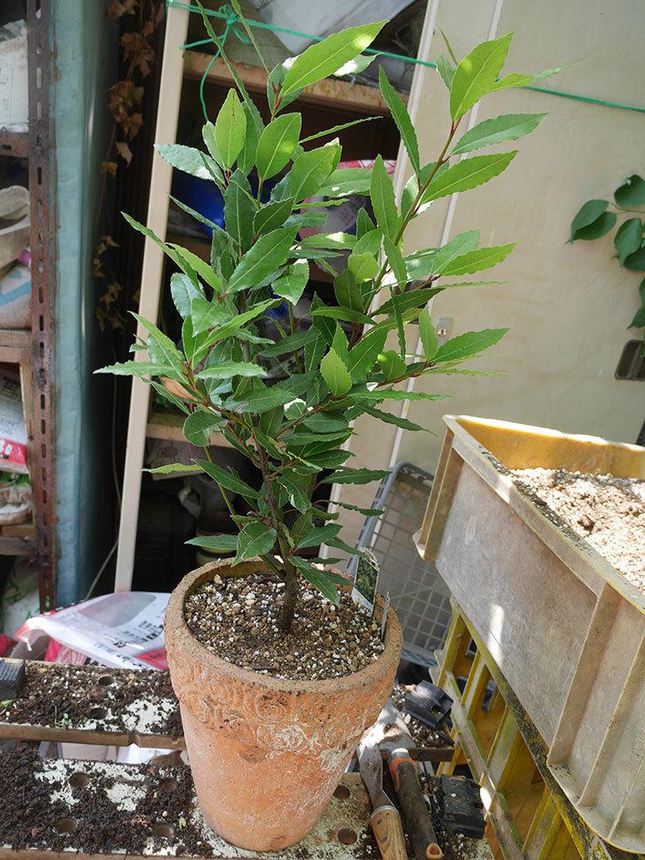 ローリエ(月桂樹)の植え替えをした。2020年-006.jpg