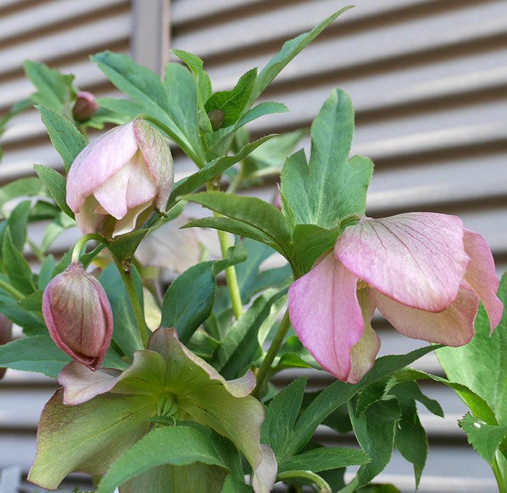 下向きで咲くオリエンタリス-紫のシングルの花が咲いた。2018年-6.jpg
