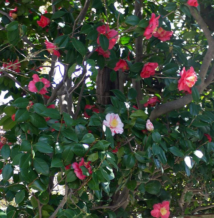 今年も地植えのツバキに白と赤が混じった花が咲いた。2017年-5.jpg