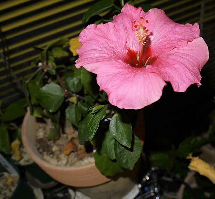 今年最後のニューロングライフ・シリーズ-アドニスの花が個咲いた。2016年-2.jpg