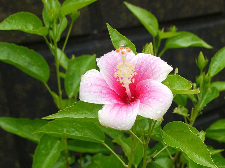 今日は、サマーブリーズ-カシミアウィンドが1個咲いた。2016年-6.jpg