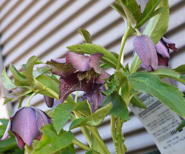 今日もオリエンタリス-紫のシングルの花が咲きだした。2017年-24.jpg