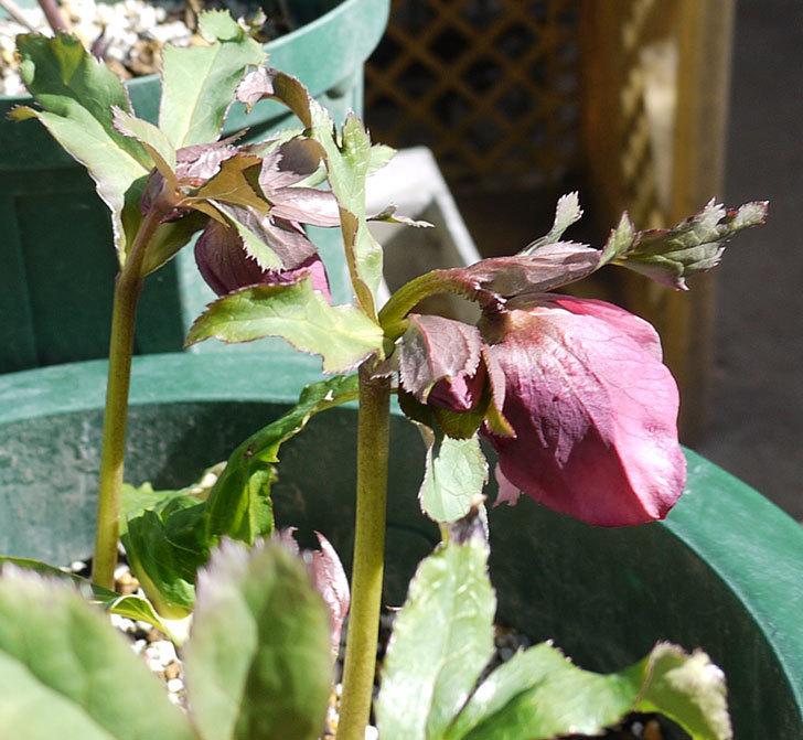 今日もオリエンタリス-紫のシングルの花が咲きだした。2017年-5.jpg