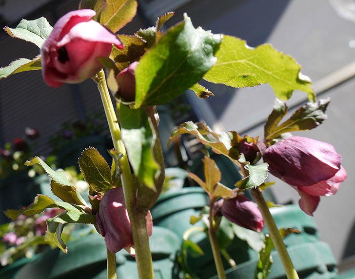 今日もオリエンタリス-紫のシングルの花が咲きだした。2017年-6.jpg