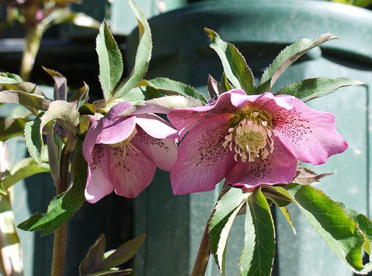 今日もオリエンタリス-紫のシングルの花が咲きだした。2017年-8.jpg