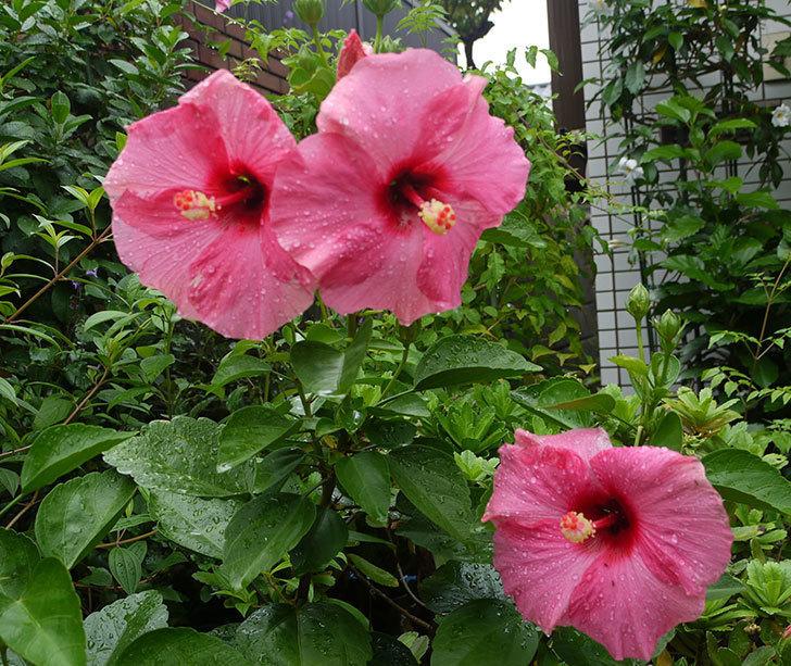 今日もニューロングライフ・シリーズ-アドニスの花が3個咲いた。2016年-1.jpg