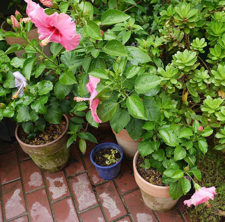 今日もニューロングライフ・シリーズ-アドニスの花が3個咲いた。2016年-5.jpg