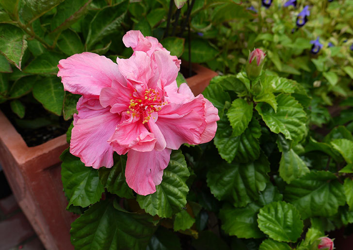 今日もハイビスカスが咲いた1.jpg