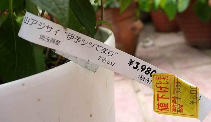 伊予シシてまり(山アジサイ)がホームズで800円だったので買って来た4.jpg