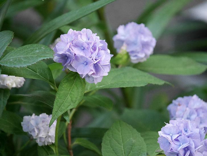 伊予獅子てまり(山アジサイ)の花がたくさん咲いた。2020年-004.jpg