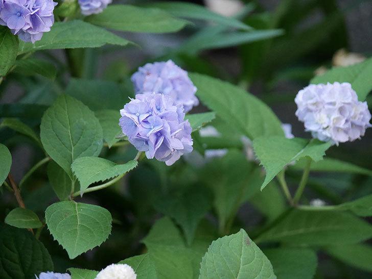 伊予獅子てまり(山アジサイ)の花がたくさん咲いた。2020年-005.jpg