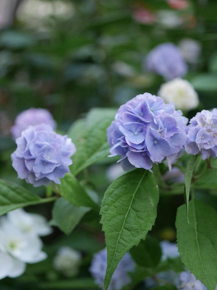 伊予獅子てまり(山アジサイ)の花がたくさん咲いた。2020年-007.jpg