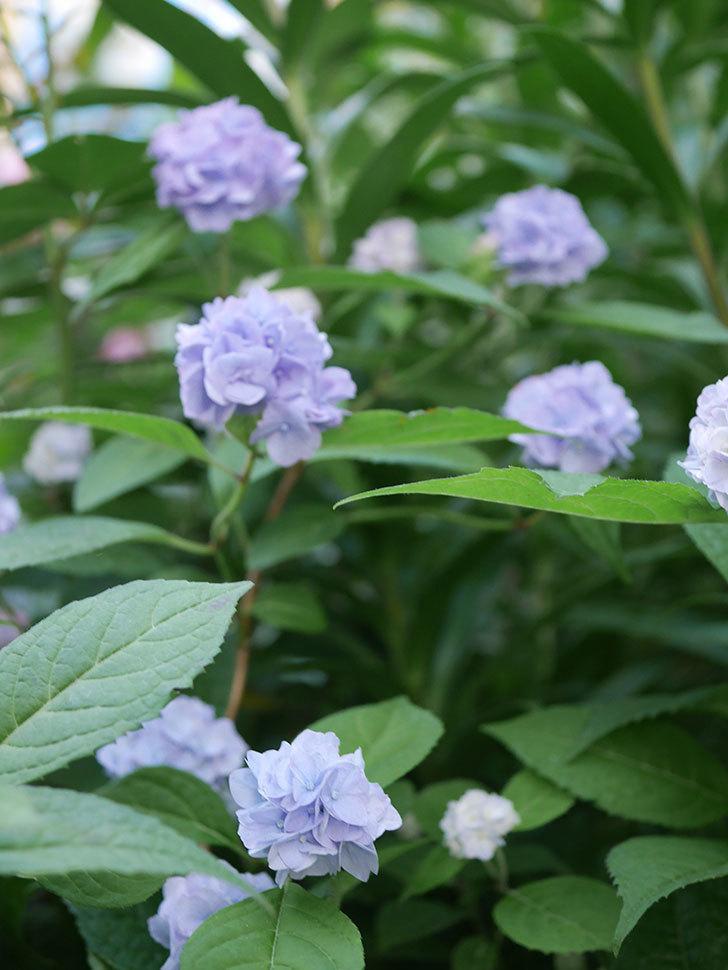 伊予獅子てまり(山アジサイ)の花がたくさん咲いた。2020年-008.jpg