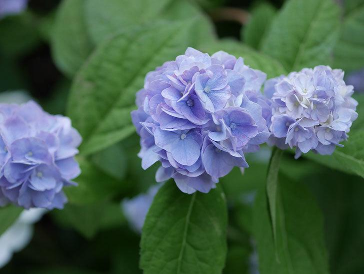 伊予獅子てまり(山アジサイ)の花がたくさん咲いた。2020年-010.jpg