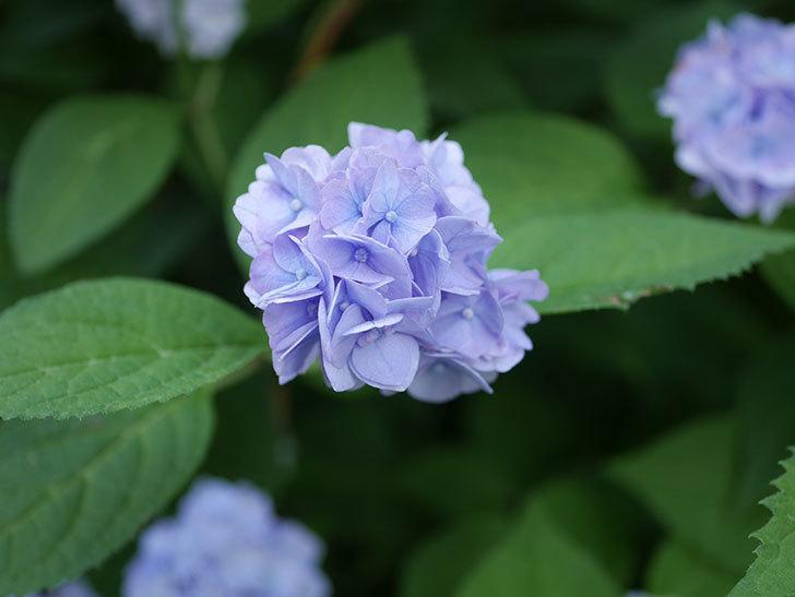 伊予獅子てまり(山アジサイ)の花がたくさん咲いた。2020年-011.jpg