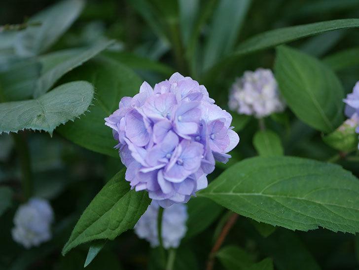 伊予獅子てまり(山アジサイ)の花がたくさん咲いた。2020年-012.jpg
