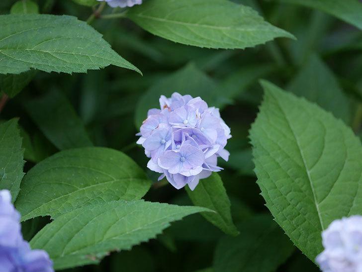 伊予獅子てまり(山アジサイ)の花がたくさん咲いた。2020年-013.jpg