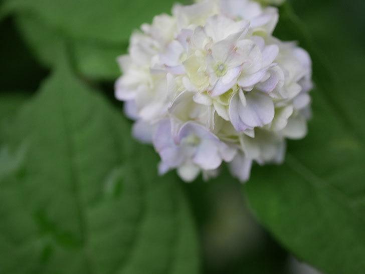 伊予獅子てまり(山アジサイ)の花が咲いた。2020年-006.jpg