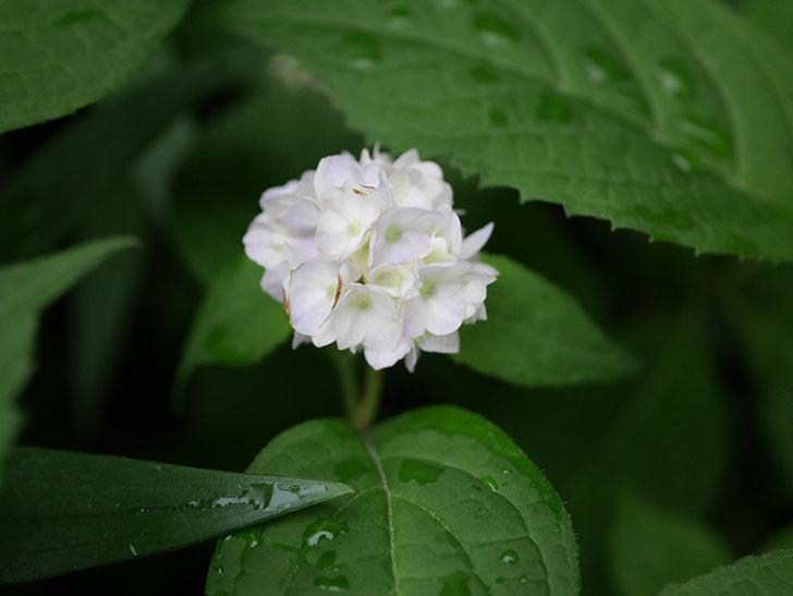 伊予獅子てまり(山アジサイ)の花が咲いた。2020年-008.jpg