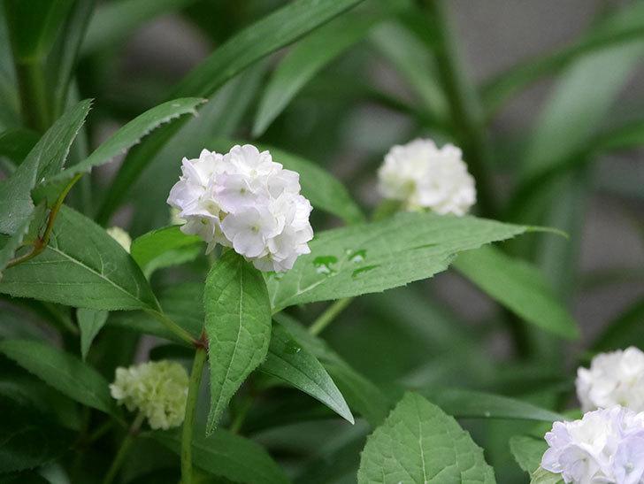 伊予獅子てまり(山アジサイ)の花が咲いた。2020年-013.jpg