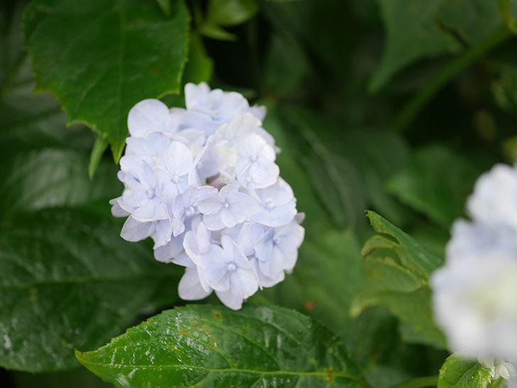 伊予獅子てまり(山アジサイ)の花が咲いた。2021年-007.jpg