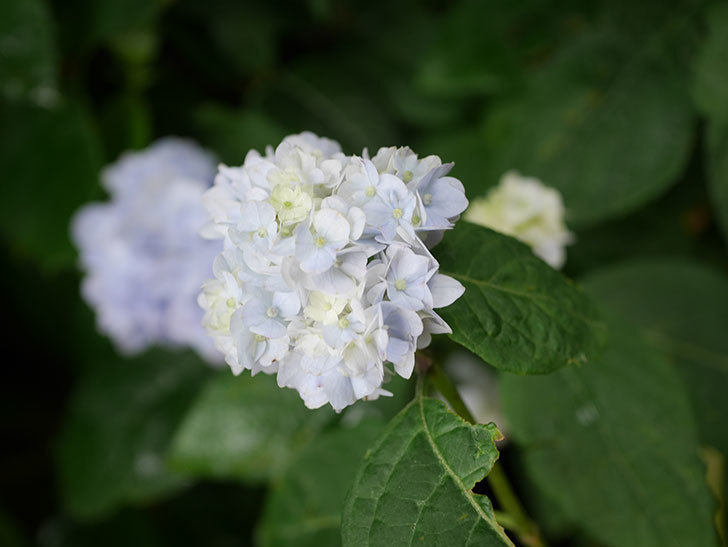 伊予獅子てまり(山アジサイ)の花が咲いた。2021年-009.jpg