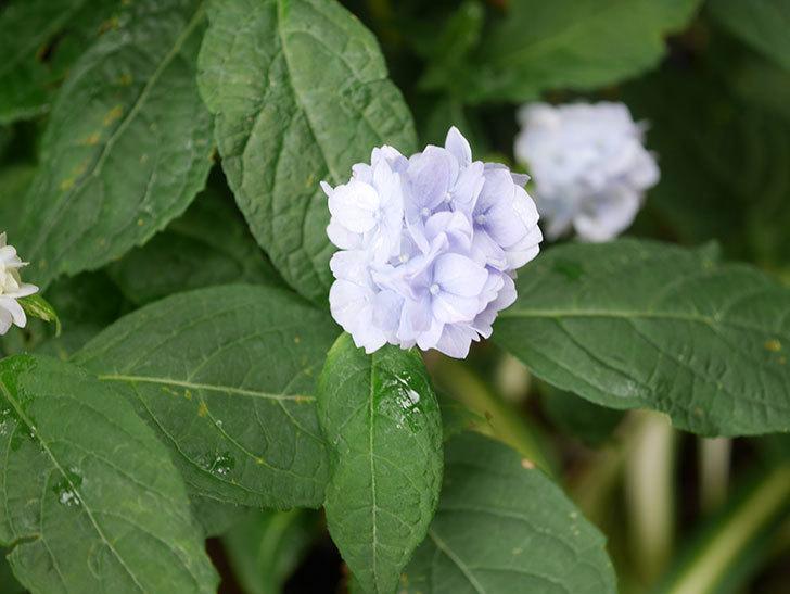 伊予獅子てまり(山アジサイ)の花が咲いた。2021年-010.jpg