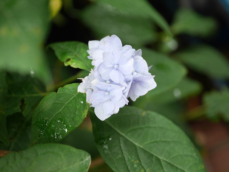 伊予獅子てまり(山アジサイ)の花が咲いた。2021年-011.jpg