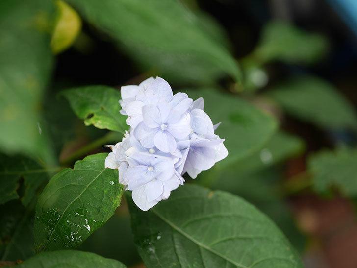 伊予獅子てまり(山アジサイ)の花が咲いた。2021年-012.jpg