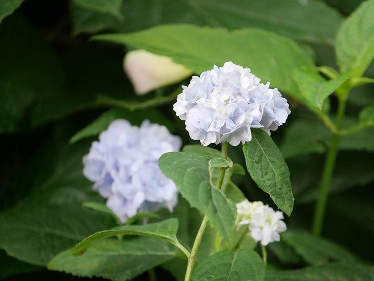 伊予獅子てまり(山アジサイ)の花が咲いた。2021年-022.jpg