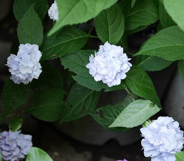 伊予獅子てまり(山アジサイ)の花が増えて来た。2019年-3.jpg