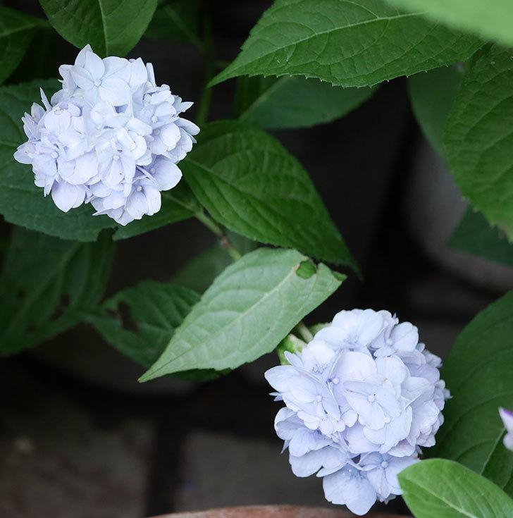 伊予獅子てまり(山アジサイ)の花が増えて来た。2019年-5.jpg
