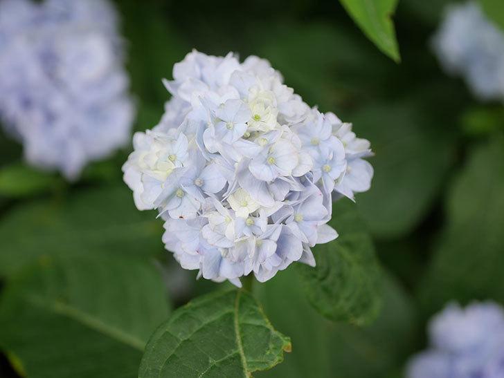 伊予獅子てまり(山アジサイ)の花が綺麗に咲いた。2021年-001.jpg