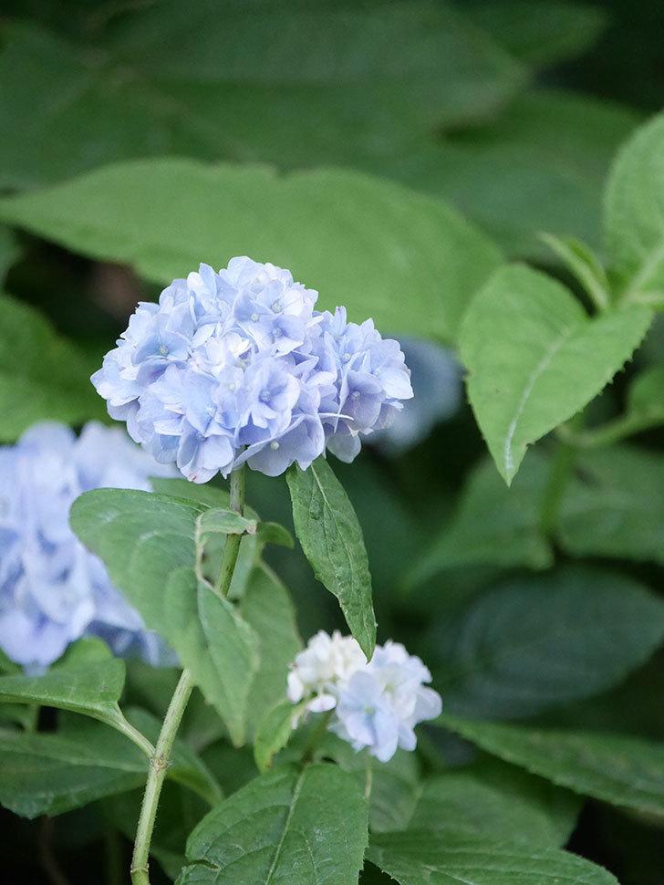伊予獅子てまり(山アジサイ)の花が綺麗に咲いた。2021年-004.jpg