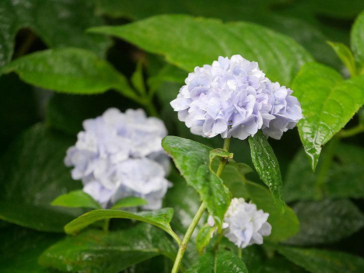 伊予獅子てまり(山アジサイ)の花が綺麗に咲いた。2021年-005.jpg