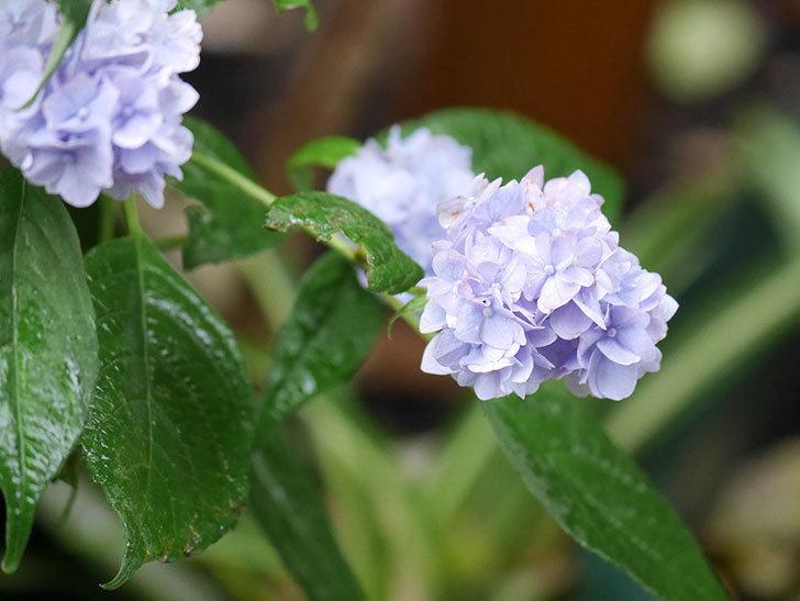 伊予獅子てまり(山アジサイ)の花が綺麗に咲いた。2021年-006.jpg