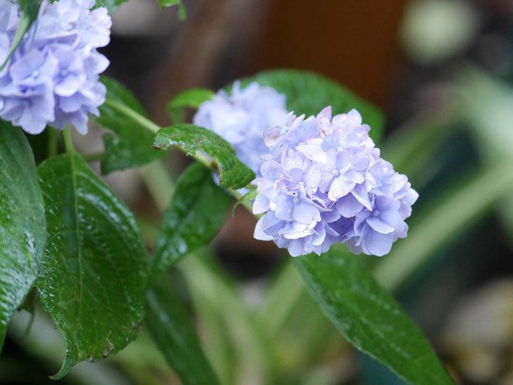 伊予獅子てまり(山アジサイ)の花が綺麗に咲いた。2021年-007.jpg