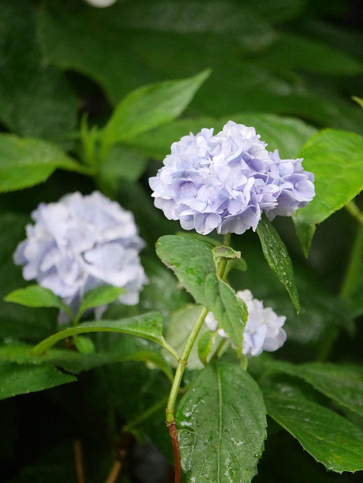 伊予獅子てまり(山アジサイ)の花が綺麗に咲いた。2021年-011.jpg